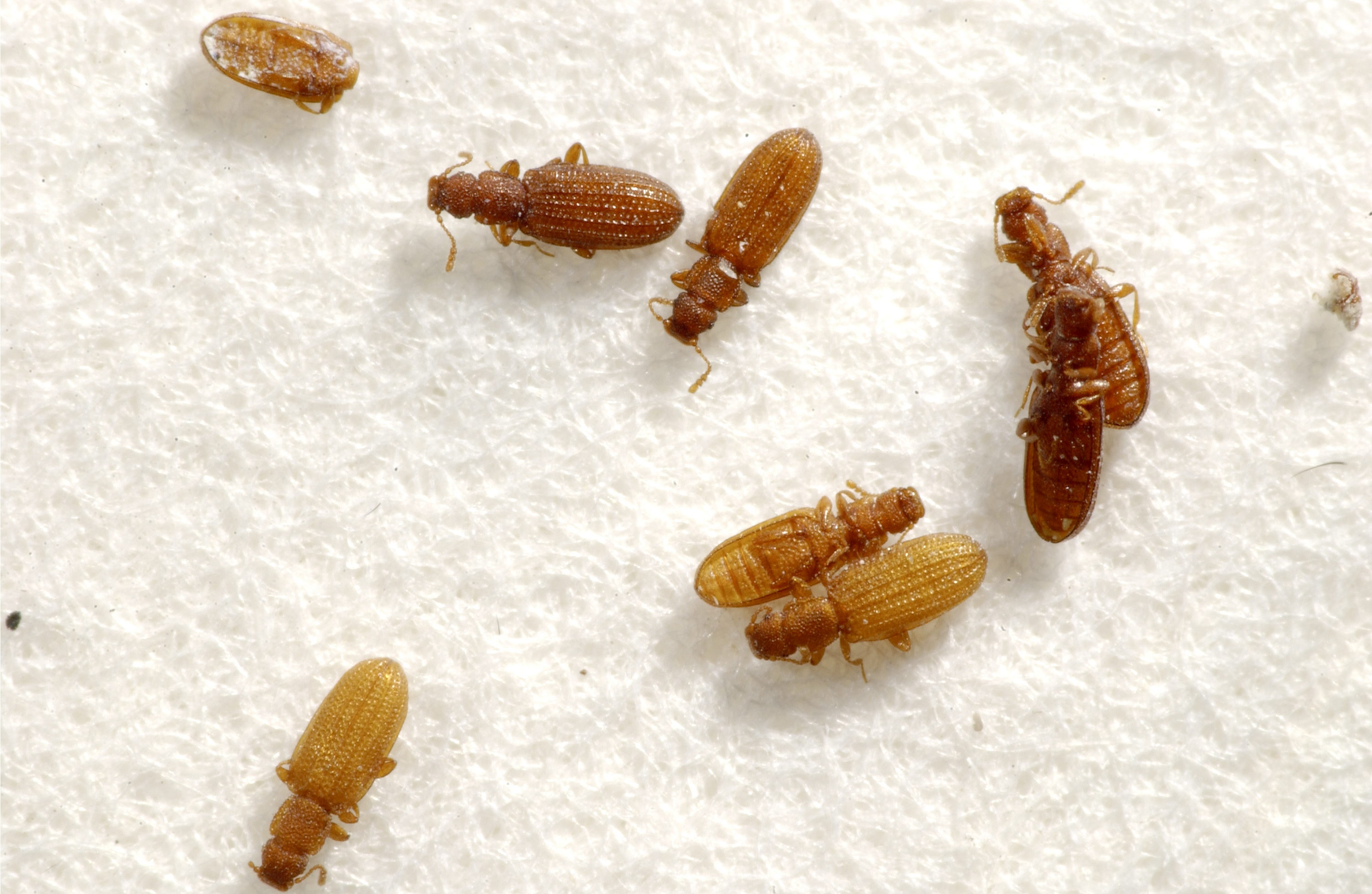 15 Bugs That Aren T Bed Bugs